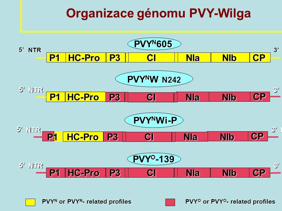 PVY N 605 P1HC-ProP3CINIaNIbCP 3' NTR 5' NTR P1HC-ProP3CINIaNIbCP 3' NTR PVY O -139 5' NTR Organizace génomu PVY-Wilga CP P3CINIaNIb3'NTR PVY N or PVY N - related profiles PVY O or PVY O - related profiles PVY N or PVY N - related profiles PVY O or PVY O - related profiles P1HC-Pro 5' NTR PVY N W N242 PVY N W N242 HC-Pro PVY N Wi-P PVY N Wi-P CP P3CINIaNIb 3' NTR 5' NTR P1