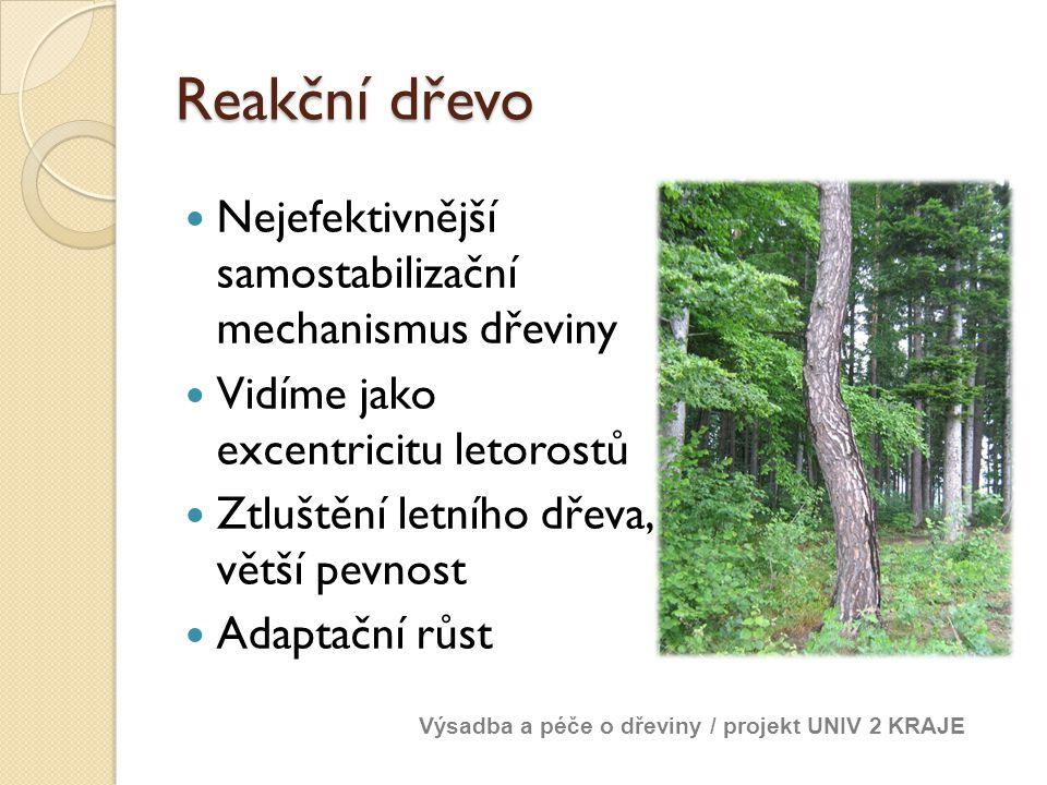 Reakční dřevo Nejefektivnější samostabilizační mechanismus dřeviny Vidíme jako excentricitu letorostů Ztluštění letního dřeva, větší pevnost Adaptační