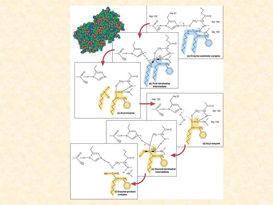 Chymotrypsin Štěpení vazby mezi acylem substrátu a O skupinou serinu Je uvolněn druhý peptid H+ je přenesen z His na Ser Enzym je zregenerován