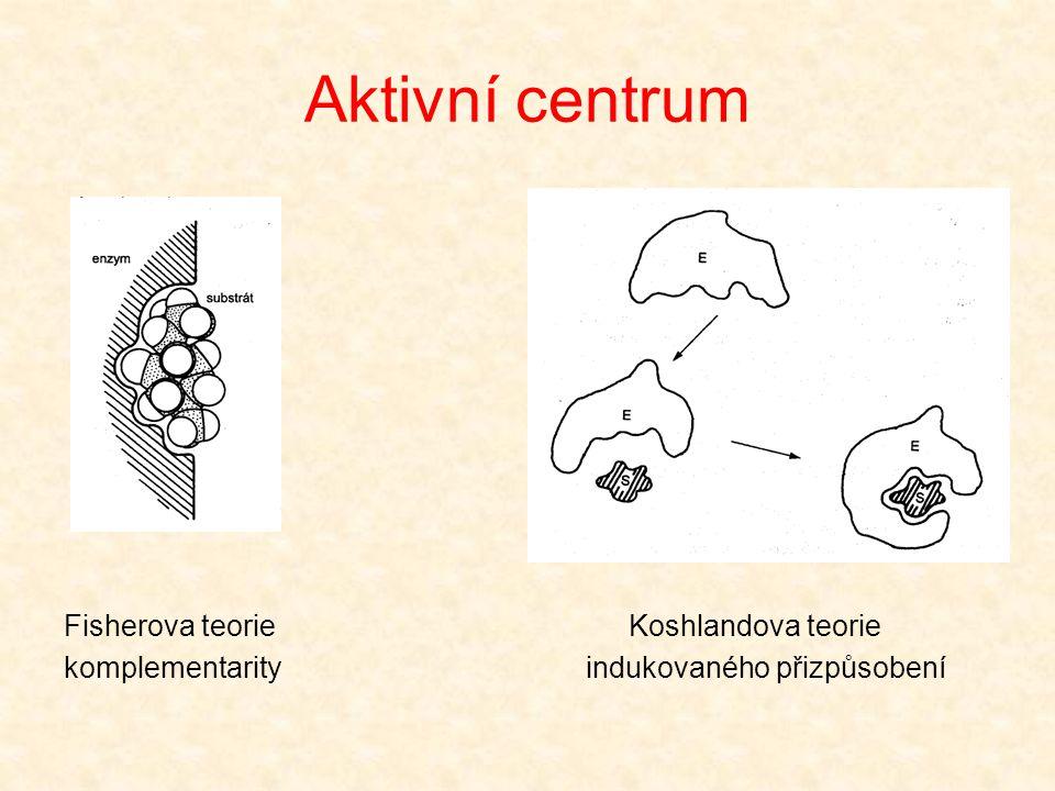 Klíčové oblasti molekul enzymů Aktivní centrum  prostorově vymezená malá oblast molekuly enzymu, obsahující určité, přesně rozmístěné funkční skupiny