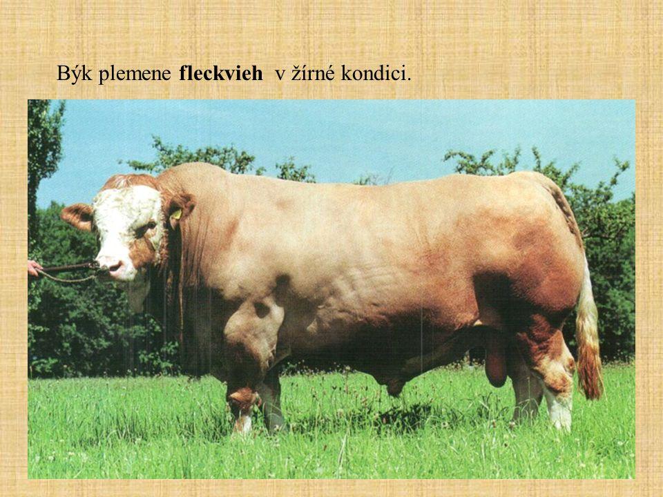 Býk plemene fleckvieh v žírné kondici.