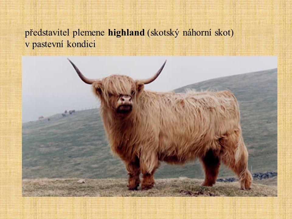 představitel plemene highland (skotský náhorní skot) v pastevní kondici