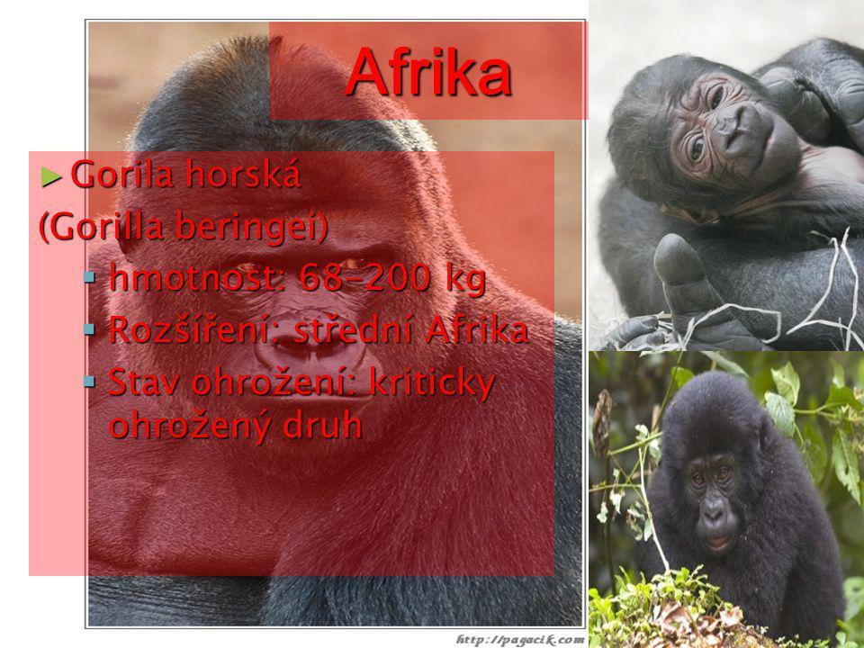 Afrika ► Lev berberský (Panthera leo)  hmotnost: 150-250 kg  Rozšíření: Afrika, jižní Asie  Stav ohrožení: ve volné přírodě vyhuben a přežívá pouze v ZOO a soukromých chovech