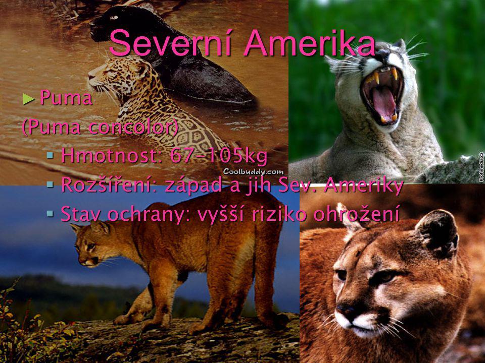 Jižní Amerika ► Jaguár (Panthera onca) hmotnost: 36-160kg rozšíření: Střední Amerika stav ochrany: ohrožený druh