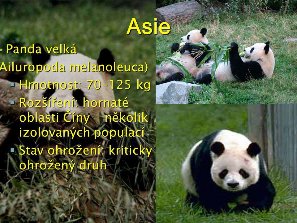 Asie ► Panda velká (Ailuropoda melanoleuca)  Hmotnost: 70-125 kg  Rozšíření: hornaté oblasti Číny - několik izolovaných populací  Stav ohrožení: kriticky ohrožený druh