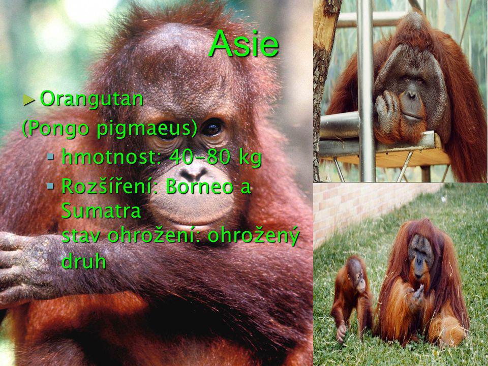 Asie ► Orangutan (Pongo pigmaeus)  hmotnost: 40-80 kg  Rozšíření: Borneo a Sumatra stav ohrožení: ohrožený druh
