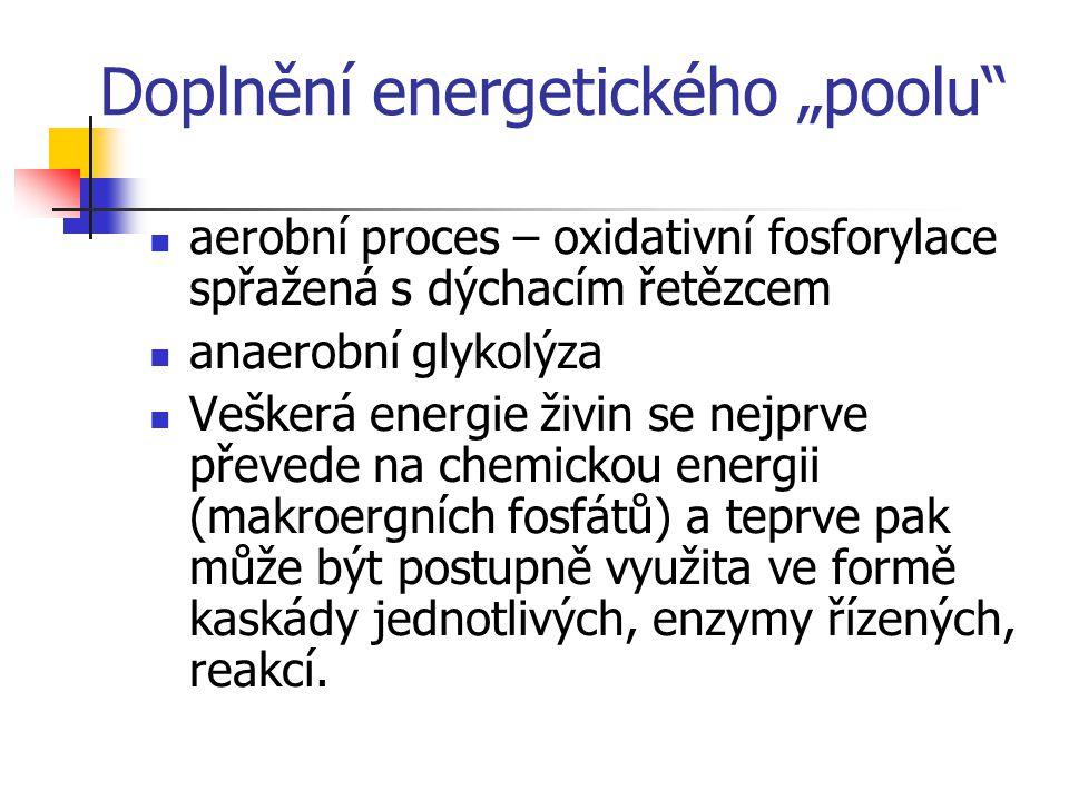 """Doplnění energetického """"poolu"""" aerobní proces – oxidativní fosforylace spřažená s dýchacím řetězcem anaerobní glykolýza Veškerá energie živin se nejpr"""