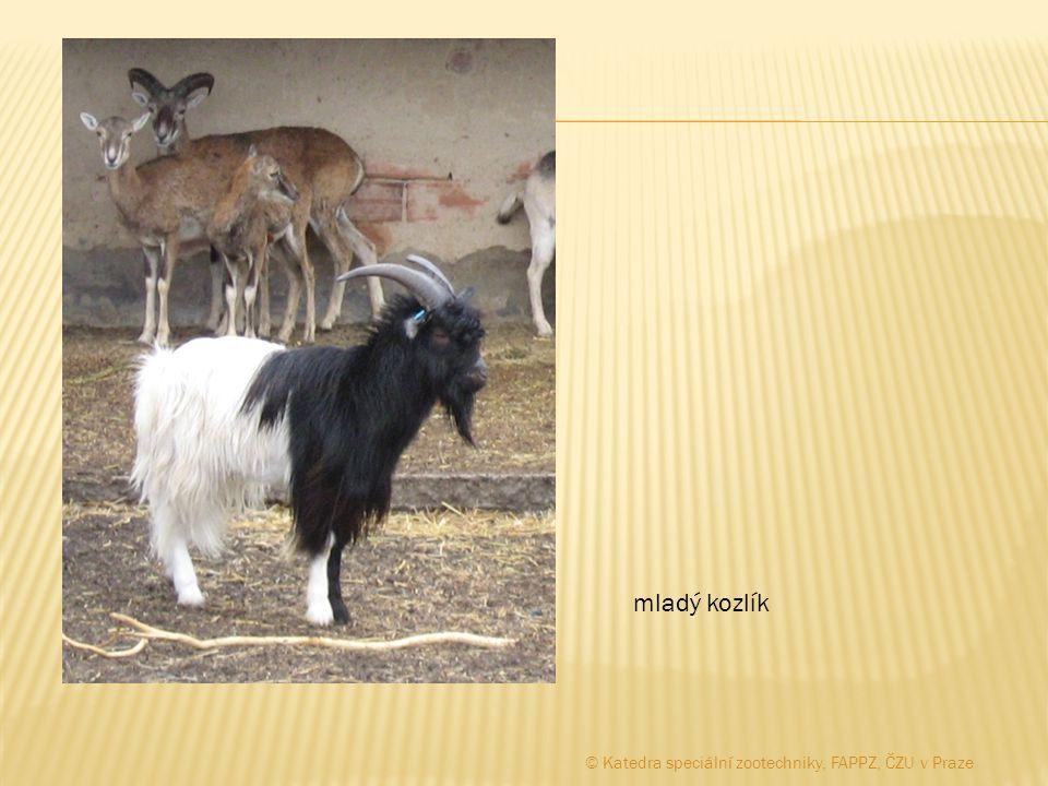 mladý kozlík © Katedra speciální zootechniky, FAPPZ, ČZU v Praze