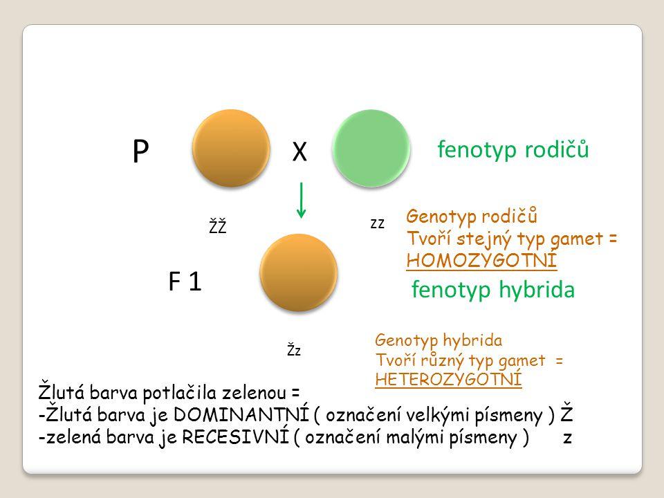 P X F 1 fenotyp rodičů fenotyp hybrida Žlutá barva potlačila zelenou = -Žlutá barva je DOMINANTNÍ ( označení velkými písmeny ) Ž -zelená barva je RECE