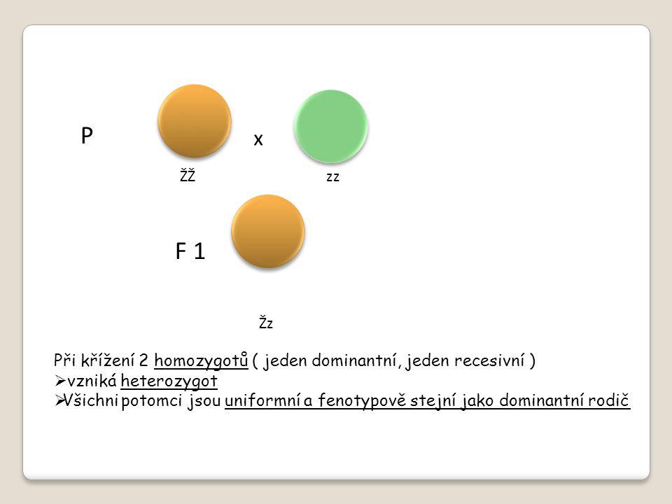 P F 1 ŽŽ zz Žz Při křížení 2 homozygotů ( jeden dominantní, jeden recesivní )  vzniká heterozygot  Všichni potomci jsou uniformní a fenotypově stejn