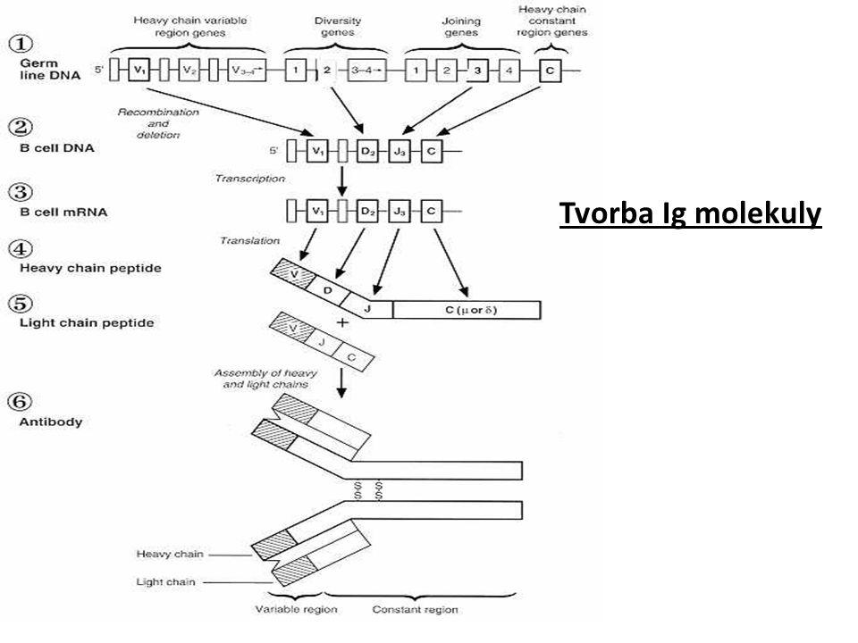 Tvorba Ig molekuly