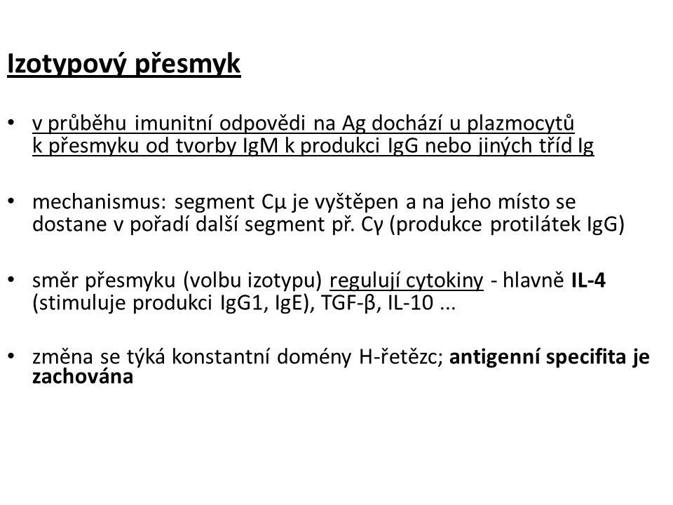 Izotypový přesmyk v průběhu imunitní odpovědi na Ag dochází u plazmocytů k přesmyku od tvorby IgM k produkci IgG nebo jiných tříd Ig mechanismus: segment Cμ je vyštěpen a na jeho místo se dostane v pořadí další segment př.