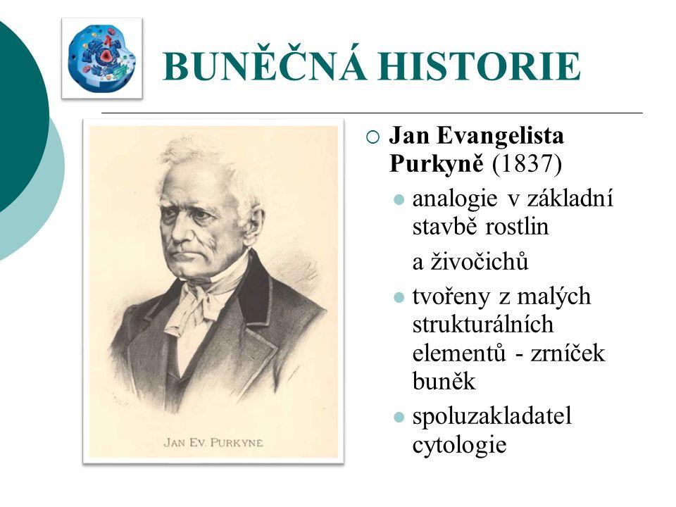 BUNĚČNÁ HISTORIE  Jan Evangelista Purkyně (1837) analogie v základní stavbě rostlin a živočichů tvořeny z malých strukturálních elementů - zrníček bu