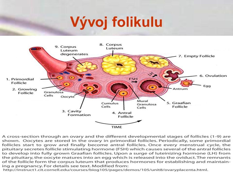 Vývoj folikulu