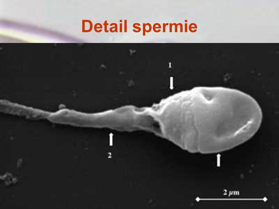 Detail spermie