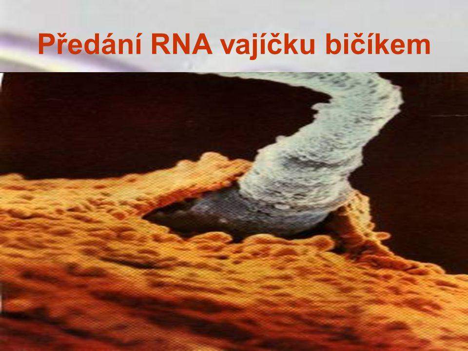 Předání RNA vajíčku bičíkem