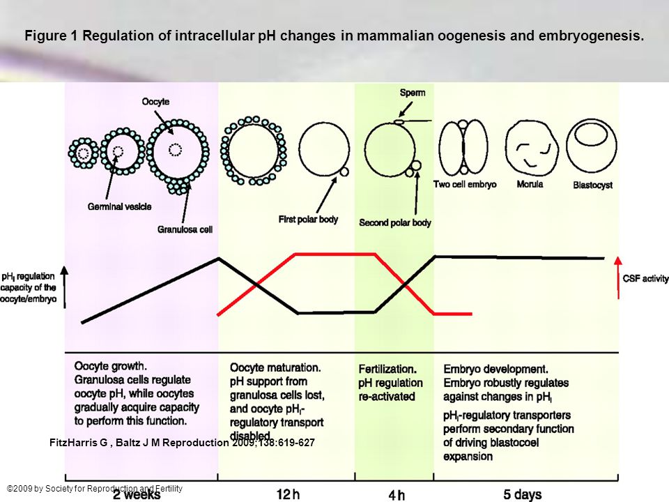 Figure 1 Regulation of intracellular pH changes in mammalian oogenesis and embryogenesis.