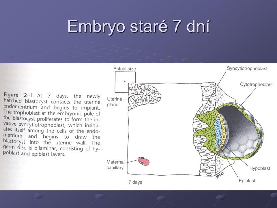 Embryo staré 8 dní