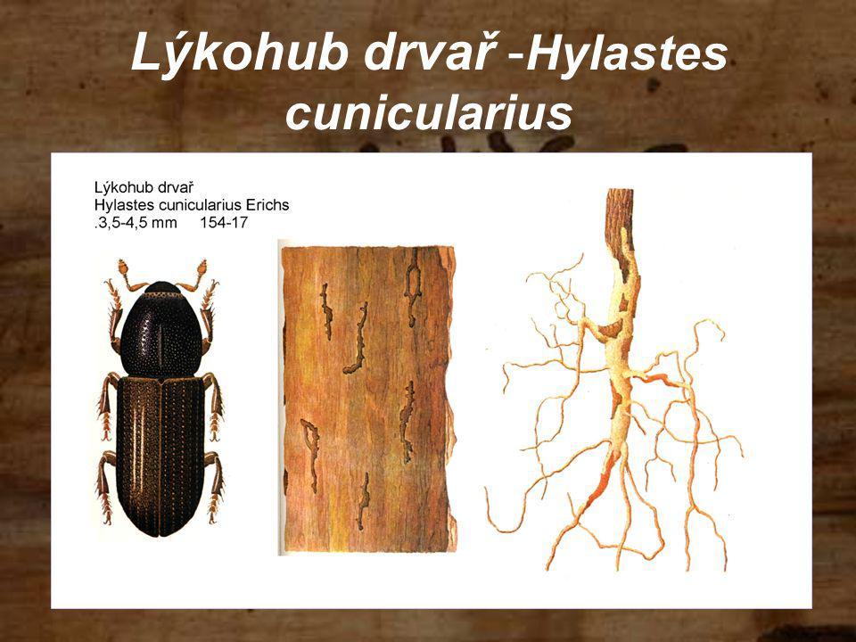 Lýkohub drvař - Hylastes cunicularius