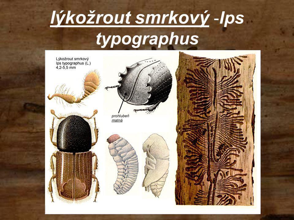 lýkožrout smrkový - Ips typographus