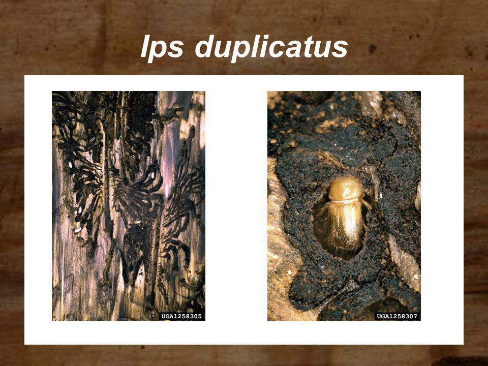 Ips duplicatus