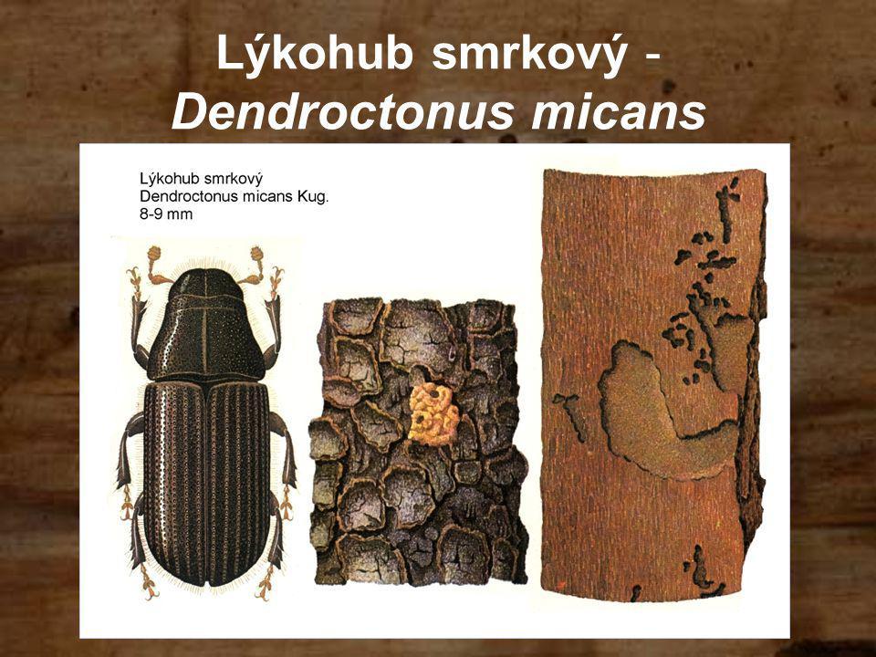 Lýkohub smrkový - Dendroctonus micans