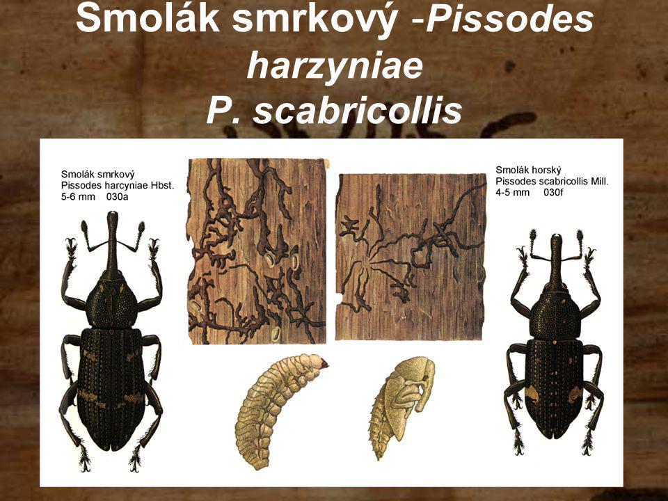 Smolák smrkový - Pissodes harzyniae P. scabricollis