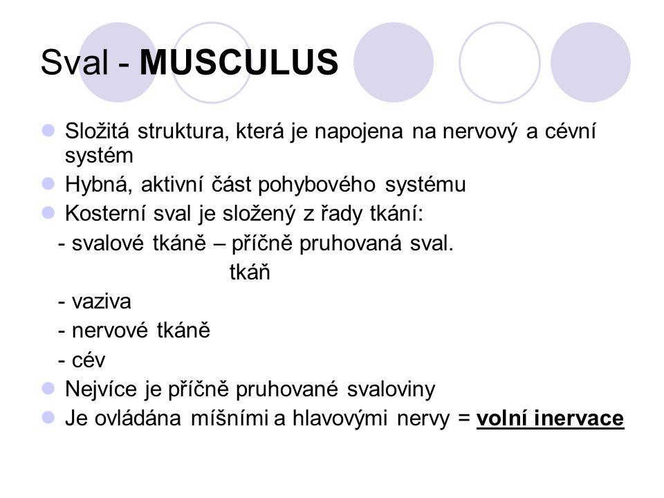 Sval - MUSCULUS V těle je asi 600 svalů – většina jsou párové svaly Svalová hmota tvoří asi 35% tělesné hmotnosti Kosterní svaly se upínají na kostru – sval přemosťuje jeden nebo více kloubů Funkce: - kontrakce – smrštění vede k pohybu kostí - relaxace – uvolnění vůči sobě navzájem
