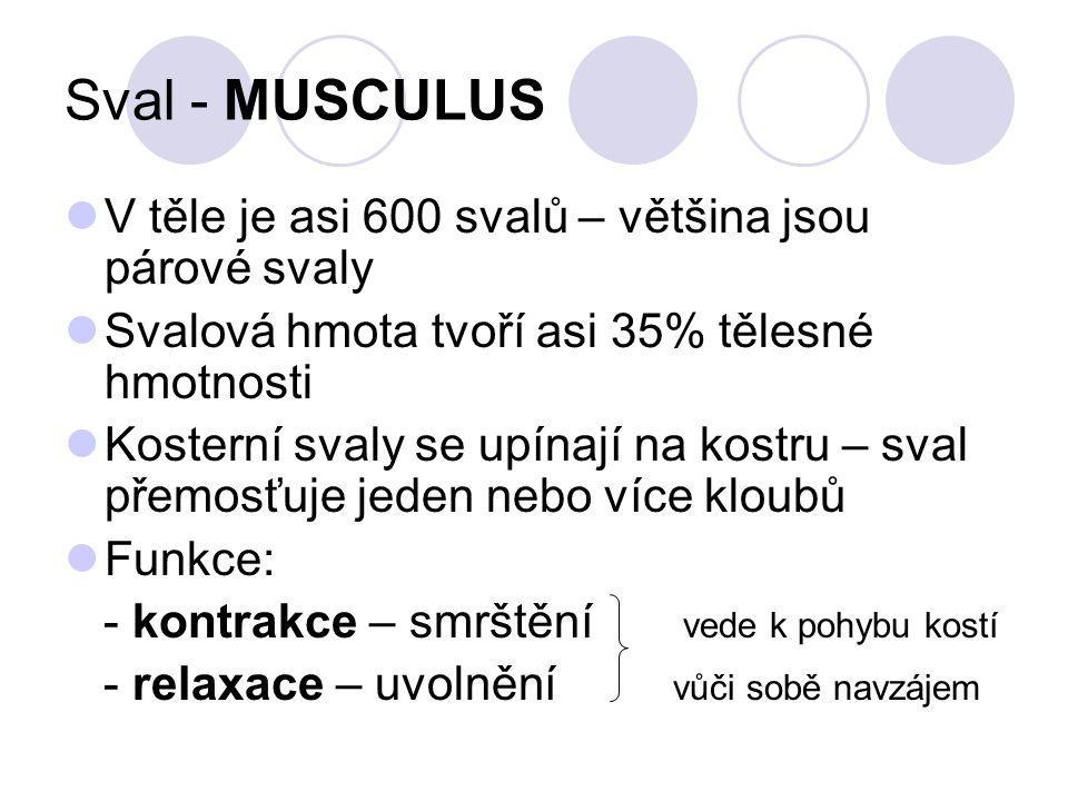 Sval - MUSCULUS Základní stavební jednotkou kosterního svalu je svalové vlákno = MYOFIBRILA – její hlavní vlastnost je smrštění Myofibrily – jsou tenká vlákna složená ze dvou typů vláknitých bílkovin – AKTIN, MYOSIN – při kontrakci se za pomoci Ca iontů obě bílkoviny zasunou mezi sebe a dojde ke zkrácení ; při relaxaci se uvolní Ca ionty z bílkovina a dojde k uvolnění bílkovin Střídáním světlých a tmavých úseků - pruhování Svalová vlákna jsou v kosterním svalu uložená do svazků, které drží pohromadě řídké vazivo – tvoří uvnitř svalu přepážky Vlákna jsou velmi pružná – dokáží se protáhnout až o 100% své délky Množství a tvar svalových svazků ovlivňuje vnější tvar svalu – plochý, bříška svalů, hlavy svalů aj.