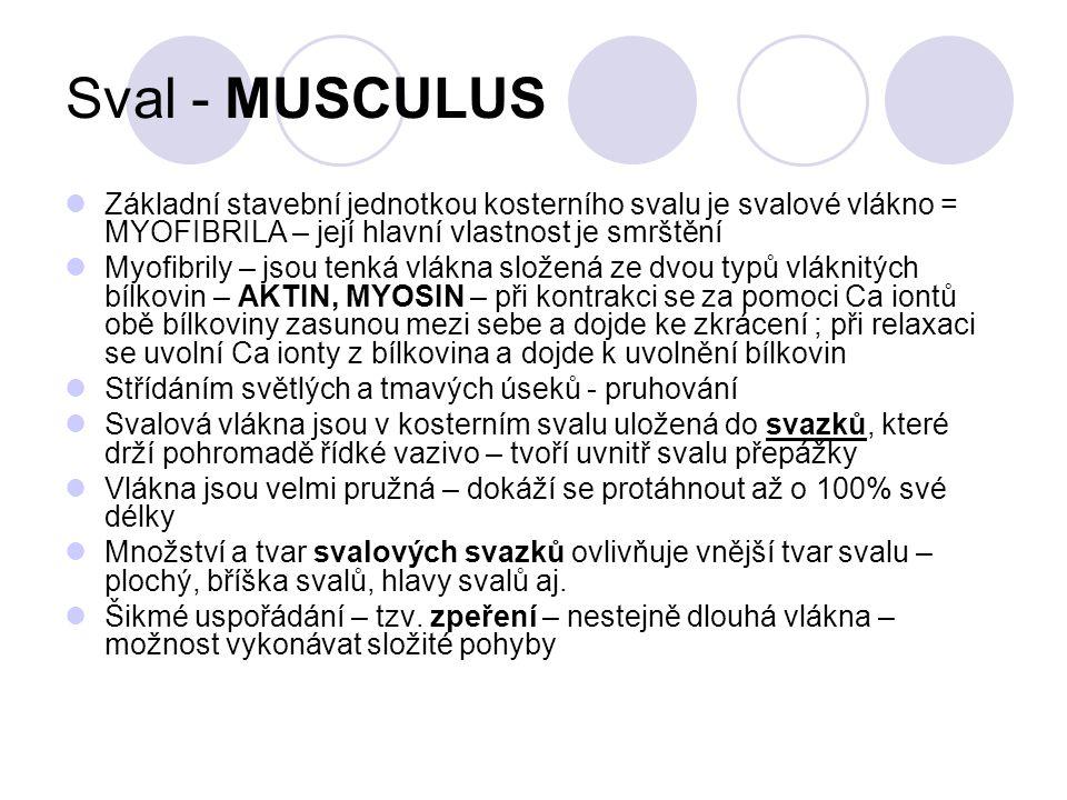 Sval - MUSCULUS Základní stavební jednotkou kosterního svalu je svalové vlákno = MYOFIBRILA – její hlavní vlastnost je smrštění Myofibrily – jsou tenk