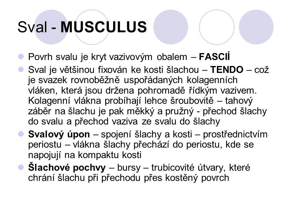 Sval - MUSCULUS Povrh svalu je kryt vazivovým obalem – FASCIÍ Sval je většinou fixován ke kosti šlachou – TENDO – což je svazek rovnoběžně uspořádaných kolagenních vláken, která jsou držena pohromadě řídkým vazivem.