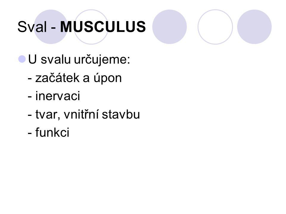 Stavba svalu: A průřez paží a/ vnitřní hlava trojhlavého pažního svalu b/ pažní kost c/ pažní nervověcévní svazek d/ pažní fascie B svalové bříško e/ úponová šlacha f/ svazek svalových vláken C svazek svalových vláken D myofibrila (svalové vlákénko) g/ aktinová vlákna (kontraktilní bílkovina svalu) h/ molekula myozinu (kontraktilní bílkovina svalu)
