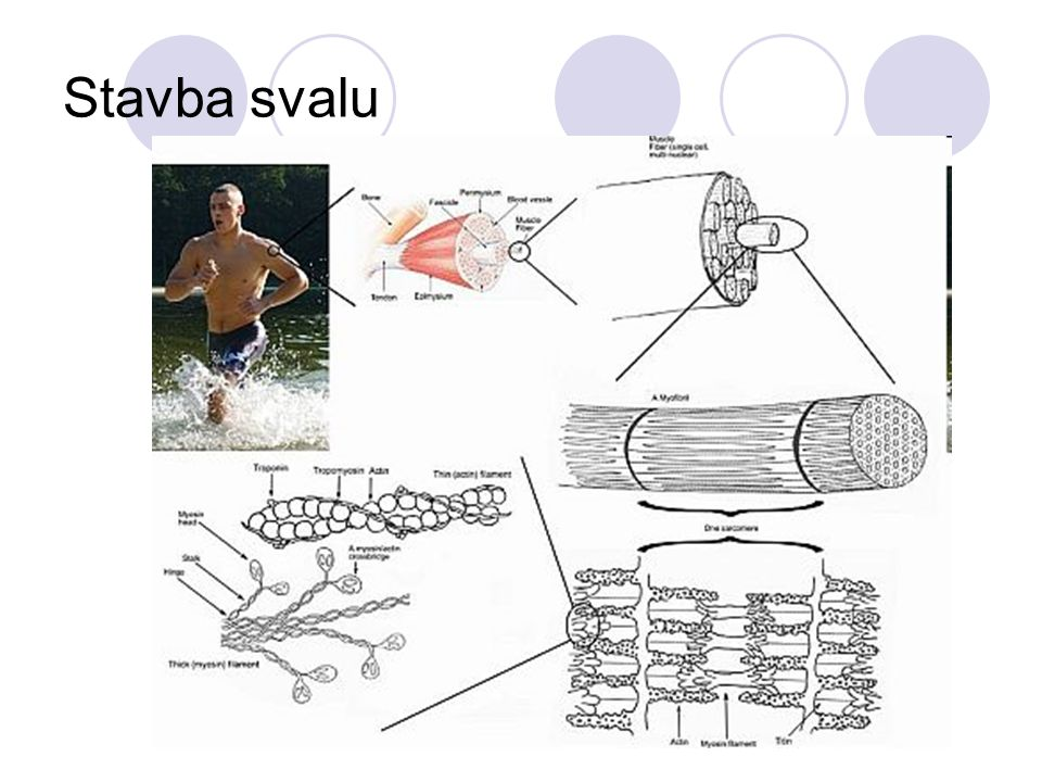 Stavba svalu