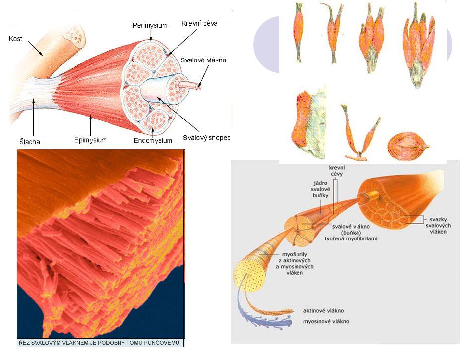Podstata svalové kontrakce: Je vyvolána nervovým podnětem, který se šíří uvnitř svalu Uvolnění Ca 2+ iontů – způsobí vzájemné zasunutí myozinu a aktinu – důsledkem je zkrácení myofibril a celého svalu Svalová kontrakce je projevem dráždivosti svalové tkáně Nervový podnět musí mít určitou intenzitu Pomine-li podnět, který vedl ke kontrakci, tak dochází k relaxaci – ochabnutí Zkrácení svalu – o 30-50% délky – je provázeno zvětšením obvodu svalového bříška, jeho zvrdnutím a odpovídajícím pohybem kostí
