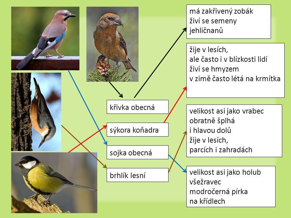 brhlík lesní velikost asi jako vrabec obratně šplhá i hlavou dolů žije v lesích, parcích i zahradách sojka obecná velikost asi jako holub všežravec mo