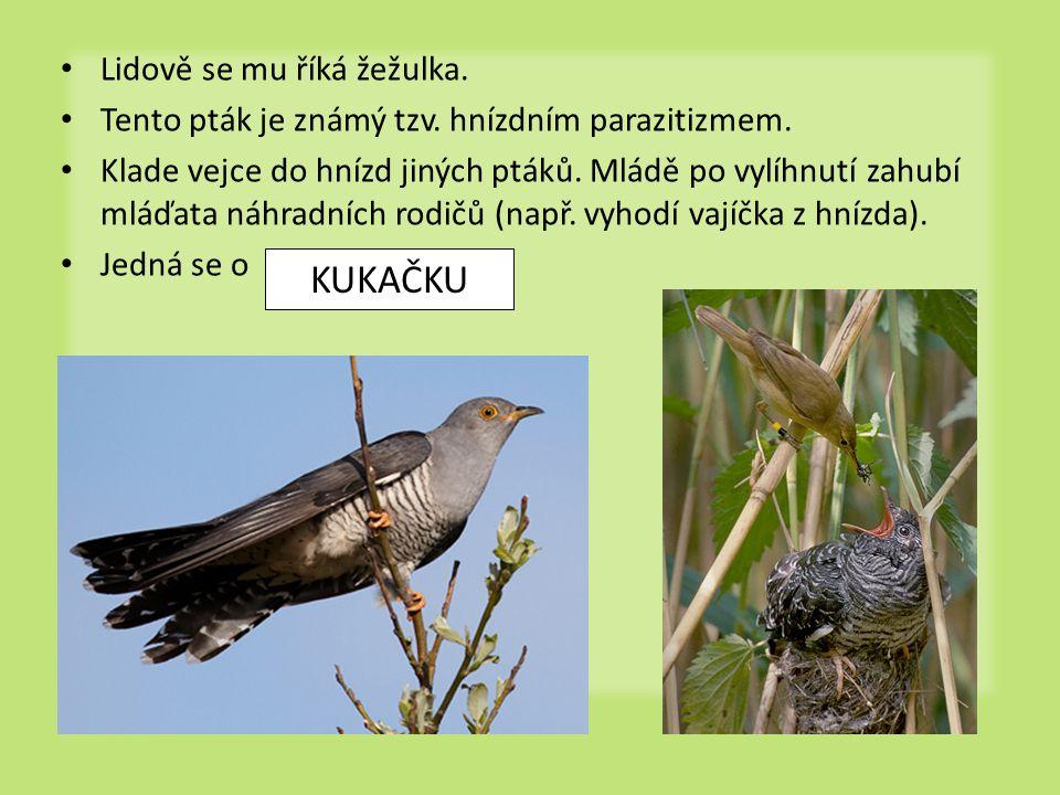 Lidově se mu říká žežulka. Tento pták je známý tzv. hnízdním parazitizmem. Klade vejce do hnízd jiných ptáků. Mládě po vylíhnutí zahubí mláďata náhrad