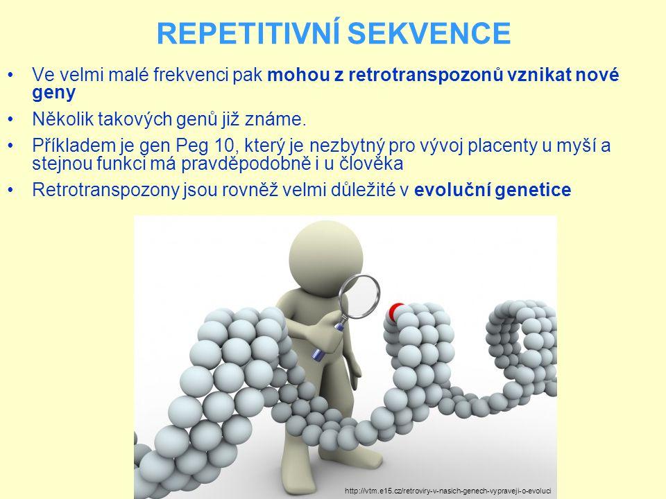 REPETITIVNÍ SEKVENCE Ve velmi malé frekvenci pak mohou z retrotranspozonů vznikat nové geny Několik takových genů již známe. Příkladem je gen Peg 10,