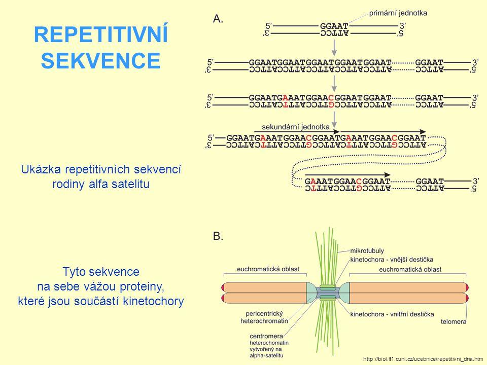 """REPETITIVNÍ SEKVENCE Menší tandemové sekvence se nazývají minisatelity a mikrosatelity Minisatelitní sekvence jsou jednotky dlouhá 5 - 30 pb Patří mezi ně i telomerické repetice U člověka jsou telomery tvořeny až 2000 opakování (repetic) krátkých hexanukleotidových sekvencí 5 -TTAGGG-3' Jejich úloha je důležitá z hlediska replikace DNA a dělení buněk Po každé replikaci chromozómu je dceřiné vlákno DNA na 5 konci kratší o 50 – 200 párů bází Zkracování DNA po replikaci se odehrává v repetitivních sekvencích telomer Délka telomer je tedy marker replikativního stáří buněk Dosažení určité minimální délky pak indukuje apoptózu a zánik buňky (buňka tedy zanikne aniž by se rozdělila, nezanechá žádné """"buněčné potomstvo )"""