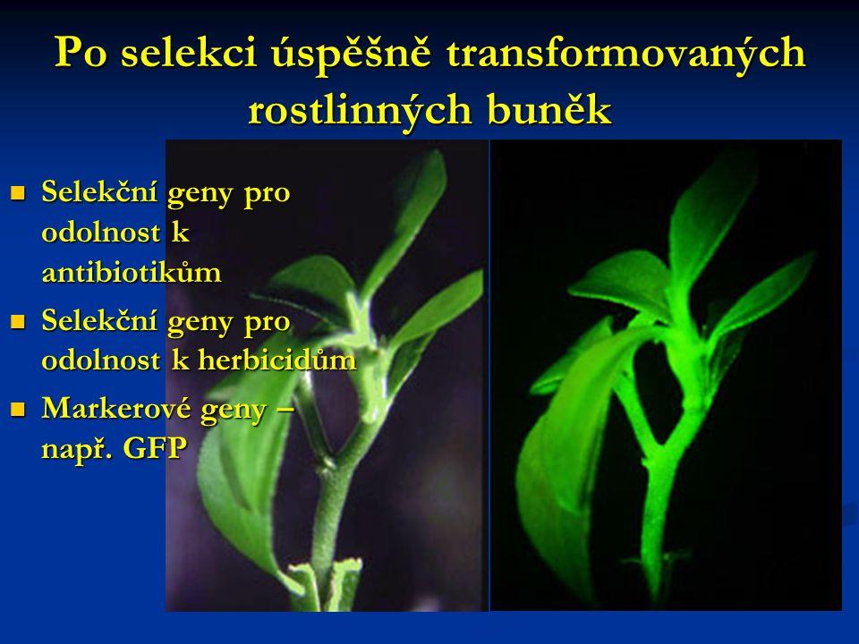 Po selekci úspěšně transformovaných rostlinných buněk Selekční geny pro odolnost k antibiotikům Selekční geny pro odolnost k antibiotikům Selekční gen