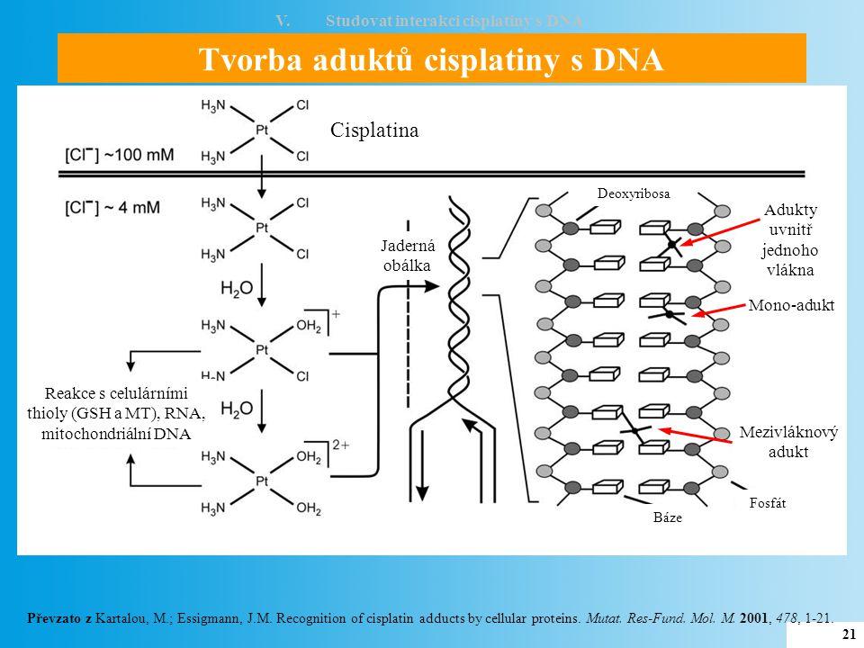 Tvorba aduktů cisplatiny s DNA V.Studovat interakci cisplatiny s DNA 22 Převzato z Ericson, A.: Model systems for metal-DNA interactions .