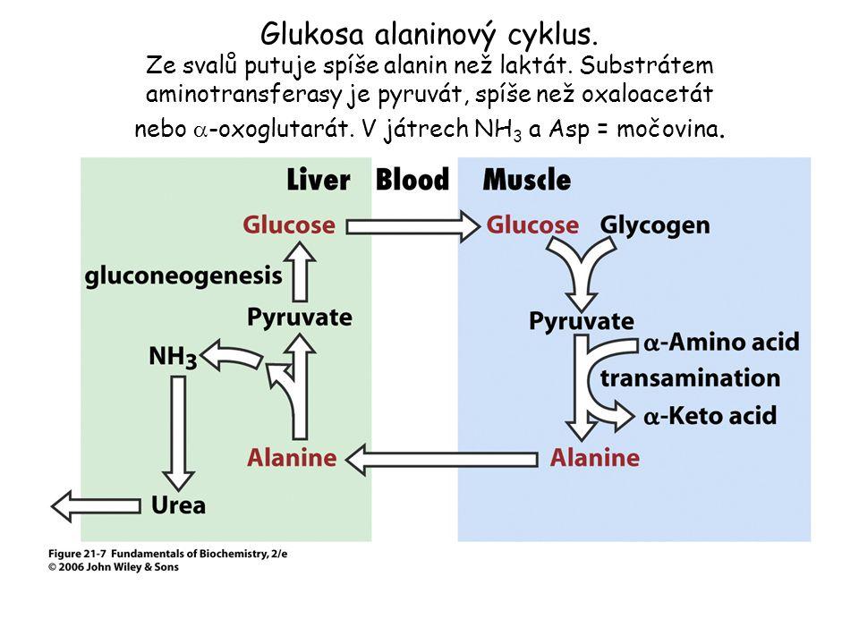 Glukosa – alaninový cyklus je mechanismus transportu dusíku ze svalů do jater !.