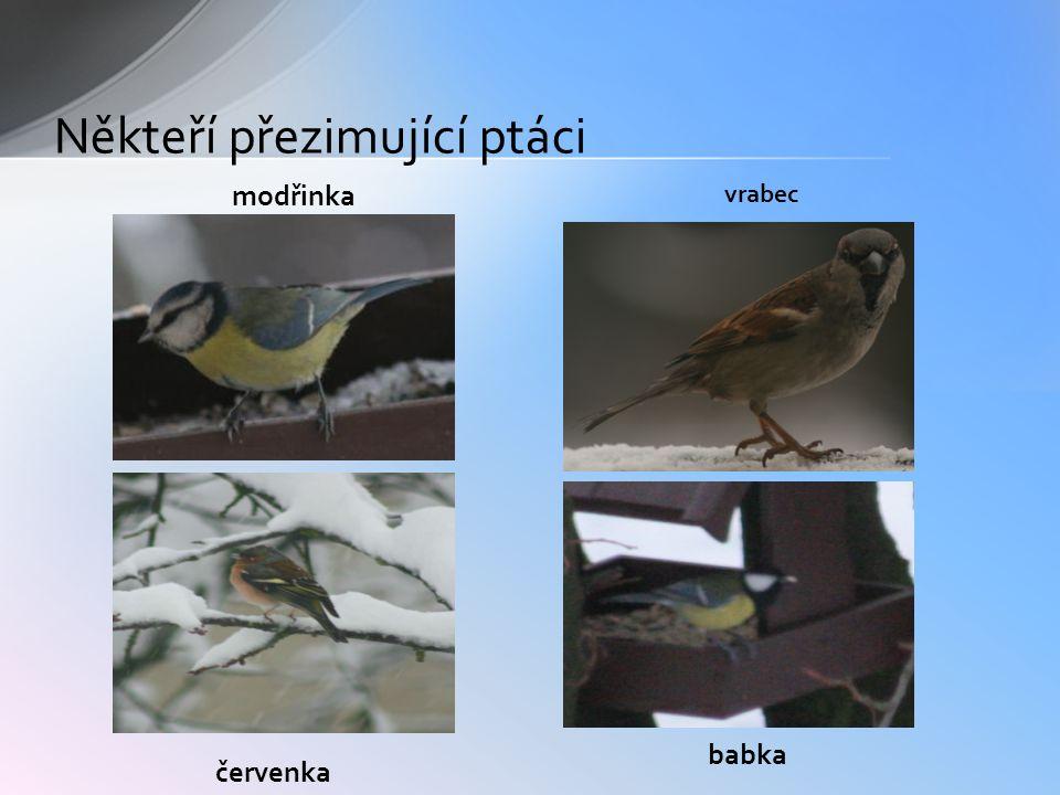 Někteří přezimující ptáci modřinka červenka vrabec babka