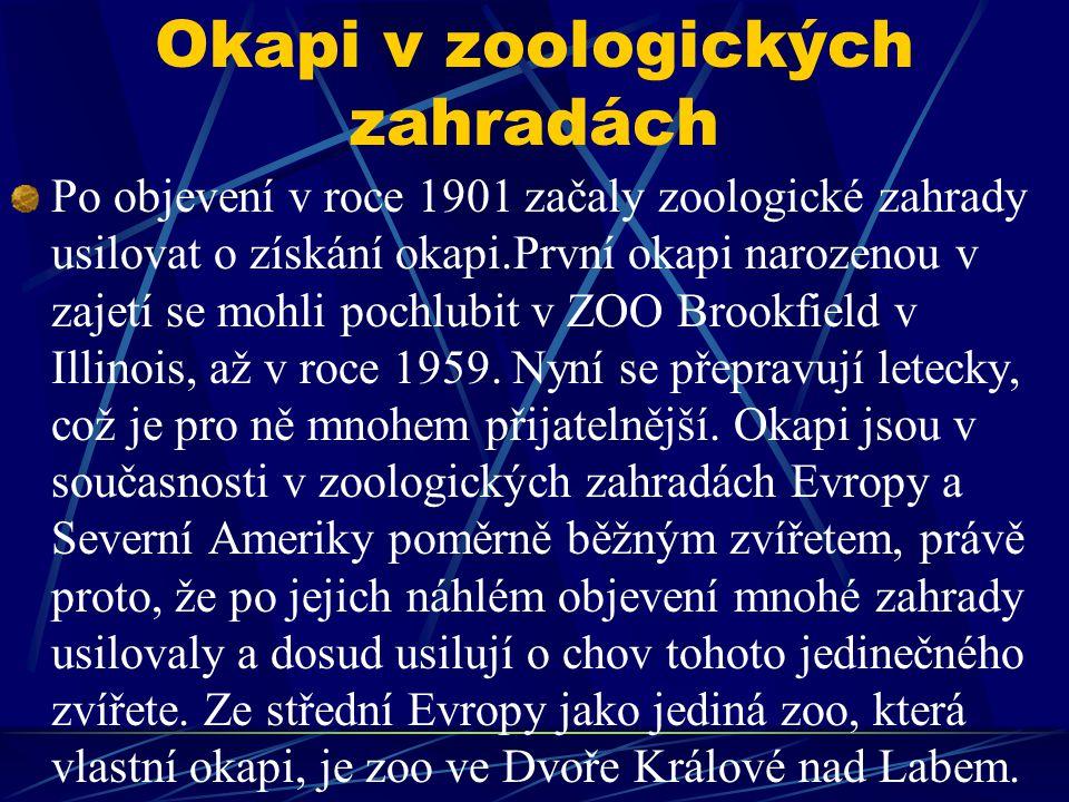 Okapi v zoologických zahradách Po objevení v roce 1901 začaly zoologické zahrady usilovat o získání okapi.První okapi narozenou v zajetí se mohli poch
