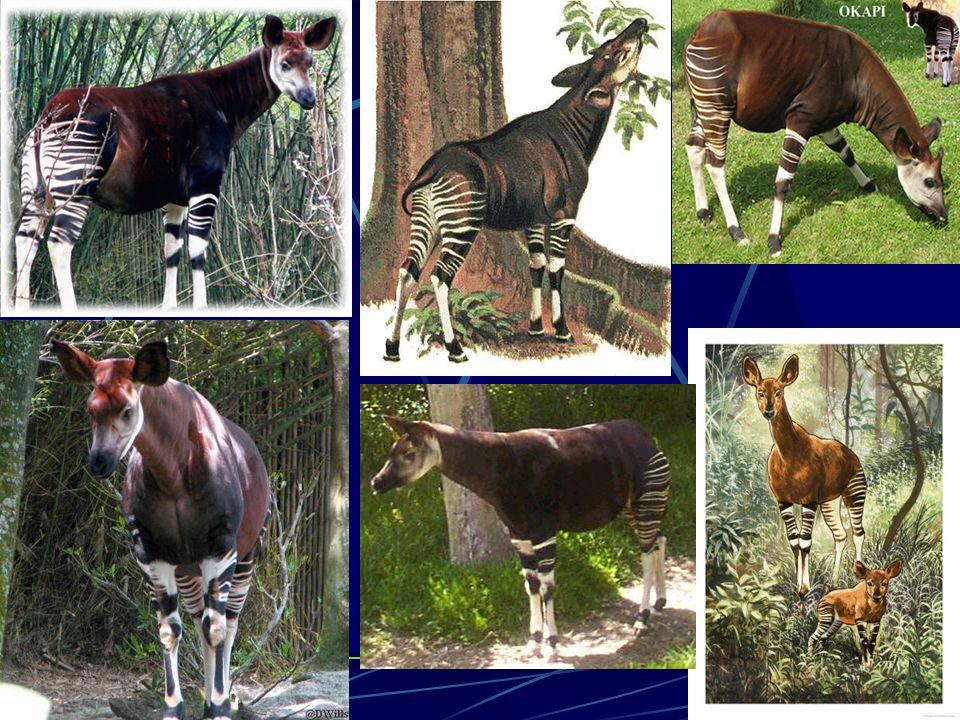 """KONECKONEC Zdroje: http://cs.wikipedia.org/wiki /Okapi a http://cs.wikipedia.org/wiki /Okapi http://images.google.cz/ """"Už to skončilo, tak proč se ptáte proč jdu chrnět."""