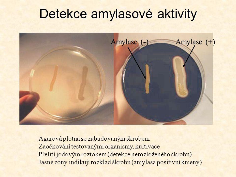 Detekce amylasové aktivity Detekce amylasové aktivity Agarová plotna se zabudovaným škrobem Zaočkování testovanými organismy, kultivace Přelití jodový