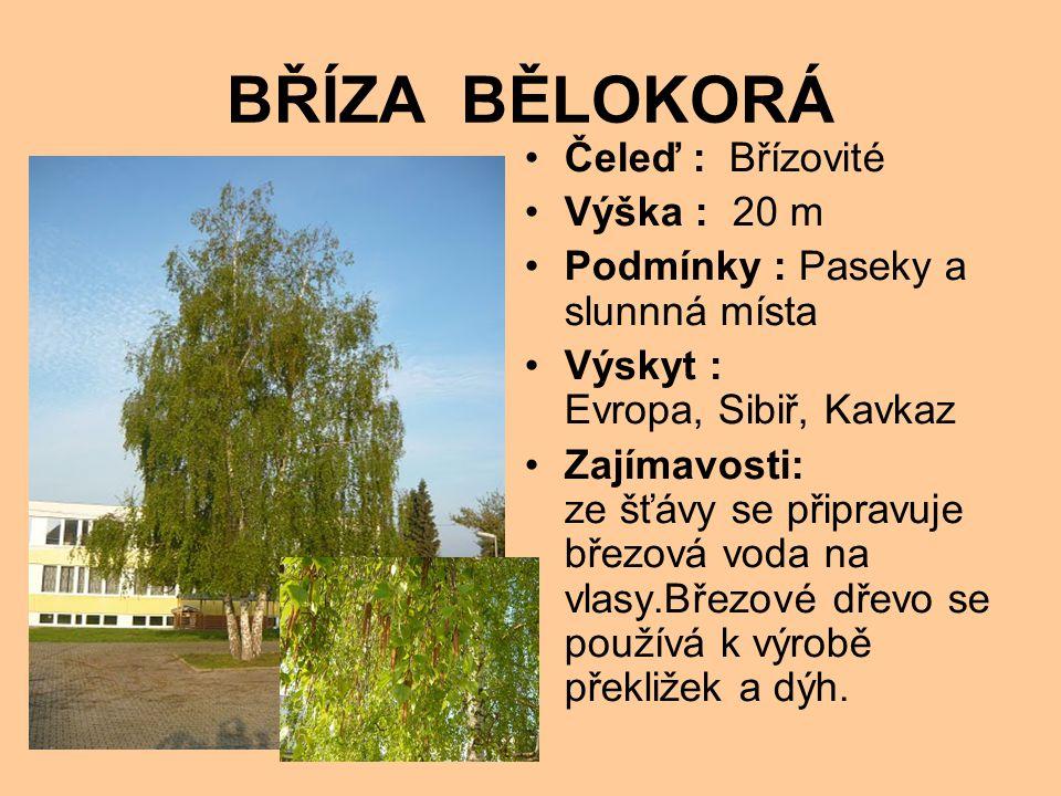 BŘÍZA BĚLOKORÁ Čeleď : Břízovité Výška : 20 m Podmínky : Paseky a slunnná místa Výskyt : Evropa, Sibiř, Kavkaz Zajímavosti: ze šťávy se připravuje březová voda na vlasy.Březové dřevo se používá k výrobě překližek a dýh.