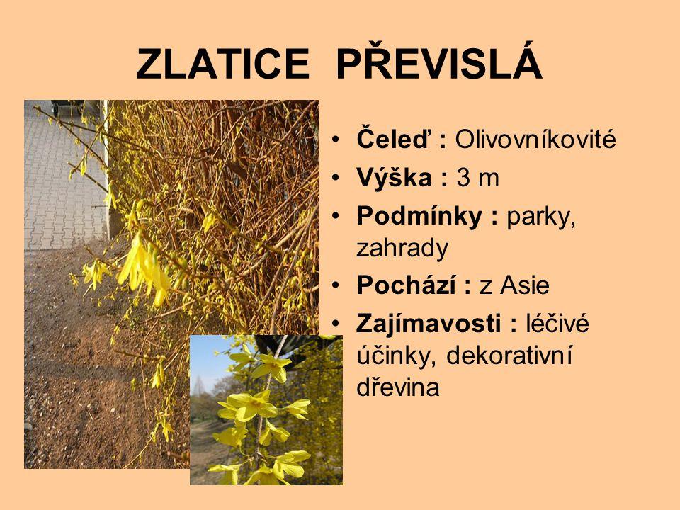 ZLATICE PŘEVISLÁ Čeleď : Olivovníkovité Výška : 3 m Podmínky : parky, zahrady Pochází : z Asie Zajímavosti : léčivé účinky, dekorativní dřevina