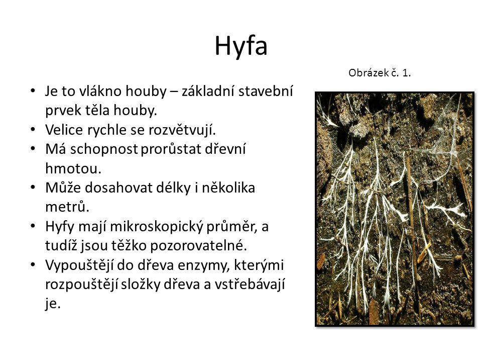Hyfa Je to vlákno houby – základní stavební prvek těla houby. Velice rychle se rozvětvují. Má schopnost prorůstat dřevní hmotou. Může dosahovat délky