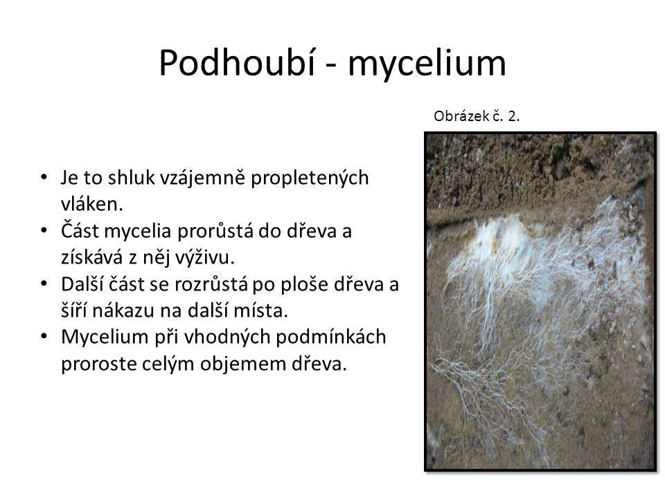 Podhoubí - mycelium Je to shluk vzájemně propletených vláken. Část mycelia prorůstá do dřeva a získává z něj výživu. Další část se rozrůstá po ploše d