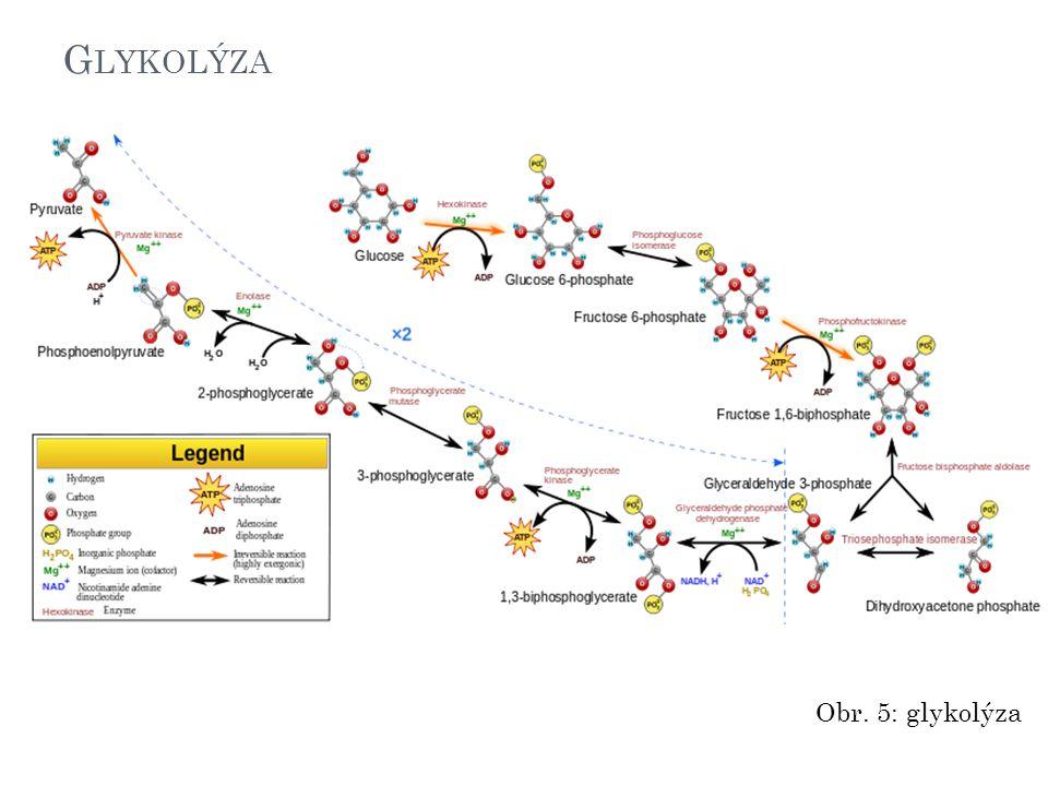 G LYKOLÝZA Obr. 5: glykolýza